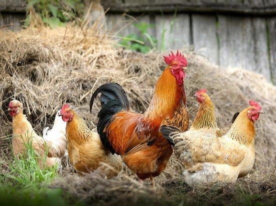 Сегодня утром сенсационная новость облетела российские СМИ: Верховный суд РФ запретил держать дачникам сельхозживотных, в том числе домашнюю птицу
