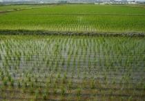 На Кубани собрали 143 тысячи тонн риса