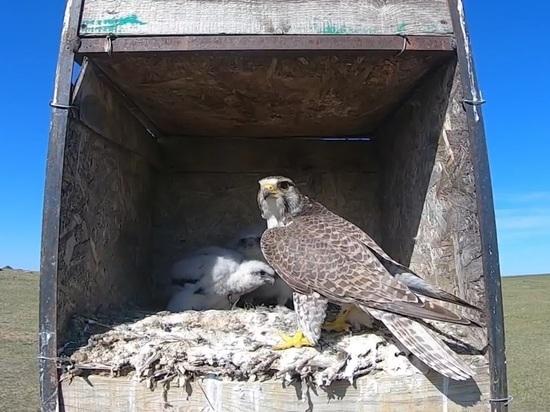 Даурский заповедник устроил 30 гнездовий для вымирающих птиц