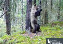 Танцующий медведь попал в фото-ловушку в Ленобласти