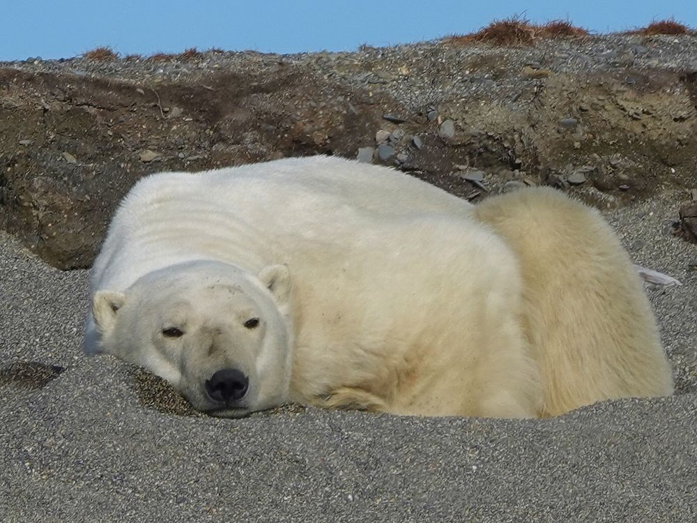 Белые медведи вблизи: кадры из русской Арктики
