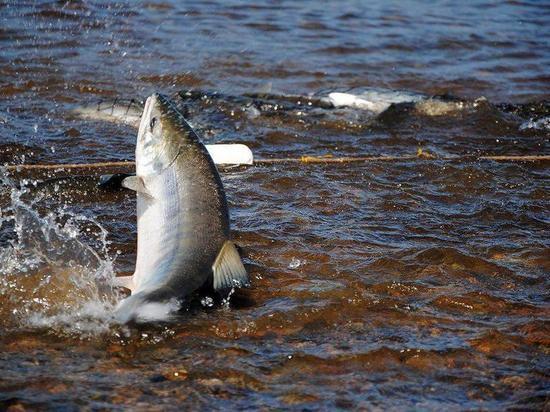 Рыбаки-любители выловили на Колыме 200 тонн рыбы