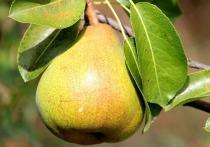 Диетолог из США Эми Гудсон назвала груши чрезвычайно полезными для здоровья человека