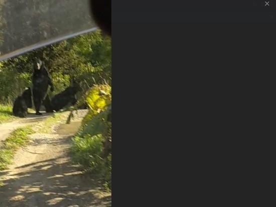 Сахалинец встретил компанию из трех медведей у дач