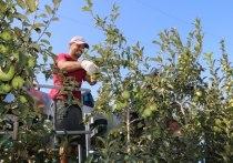 Крым без яблок не останется: но почему так дорого?