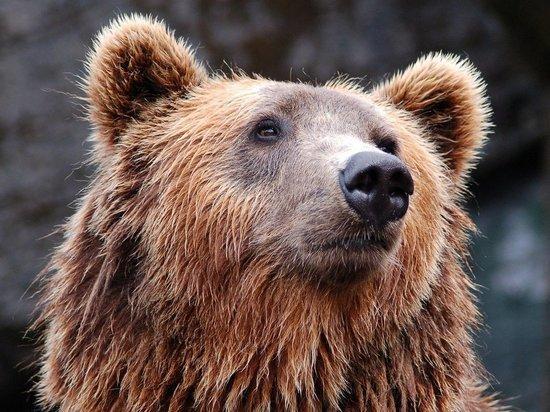 Случай нападения медведя на грибника в районе 127-го километра Минского шоссе активно обсуждают жители Можайского городского округа