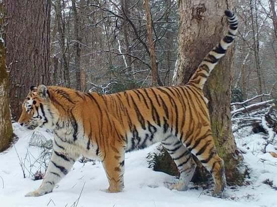 Генконсульство Японии во Владивостоке поздравило с Днем тигра на Дальнем Востоке