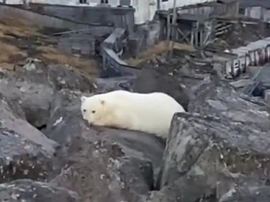 Белый медвежонок пришел в поселок Диксон на севере Красноярского края