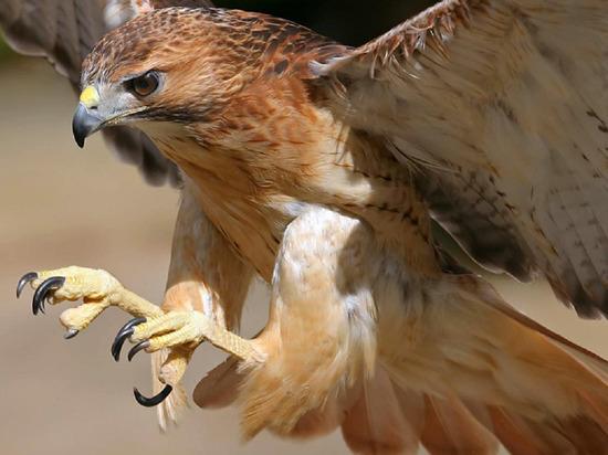 Разведение редких хищных птиц: второй в РФ международный соколиный центр создадут на Ямале