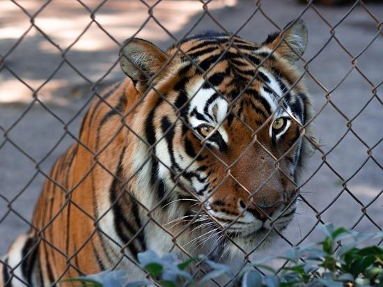 В крымском парке тигр откусил палец годовалому ребенку