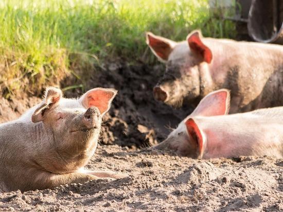 Вирусолог Лукашев рассказал, можно ли есть мясо чумных свиней