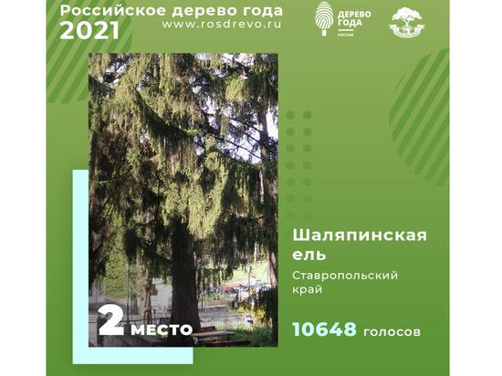 Шаляпинская ель в Кисловодске стала второй в конкурсе дерева года России