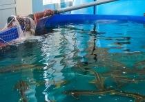 В комплексе аквакультуры Астраханской области погибли 89 белуг
