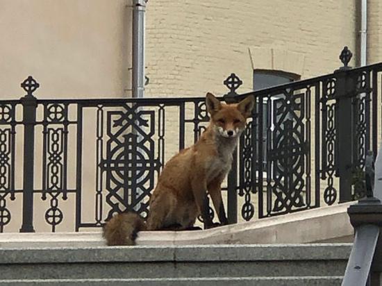Лиса, забежавшая сегодня утром в Сретенский монастырь, пока не дает себя поймать