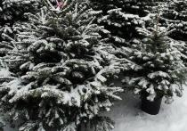 Радостная предпраздничная суета может быть омрачена только одним вопросом – где купить живую елку, которая наполнит дом приятным ароматом леса, свежестью и уютом? Интернет-магазин Elki1