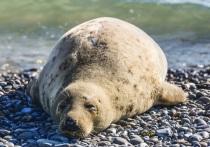 Пограничники спасли каспийского тюленя и более 200 особей краснокнижных рыб осетровых пород