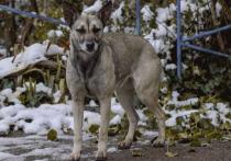 Свора из 15 диких собак загнала в такси женщину из Нового Уренгоя