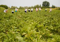 Лимит на привлечение мигрантов в сельское хозяйство в Астраханской области могут исключить