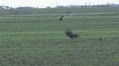 В Британии охотник снял на видео неожиданное спасение зайца
