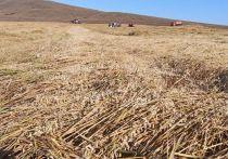 Россельхозцентр не согласен с объемами убытков районов, где снег засыпал зерновые