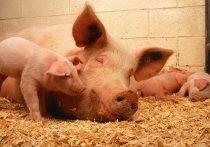 На Южный Урал с начала года завезли 1200 канадских свиней и 201 латвийского кролика