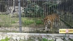 В Хабаровском крае засняли на видео маленького тигренка