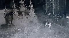 Волки выходят в населенные пункты в Карелии