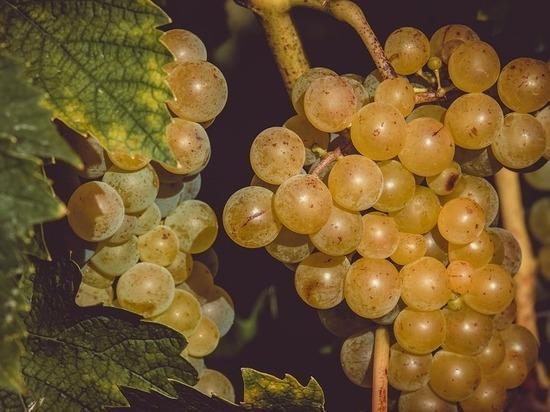 Германия: Сбор винограда в самом разгаре