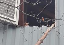 Хулиган не пострадал от собак: пропавший бельчонок вернулся к жителю Губкинского