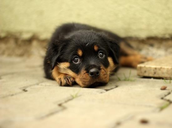 Мы обросли собаками по уши: прием щенков остановил приют Нового Уренгоя