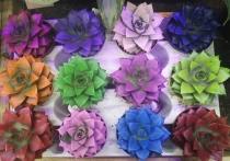 «МК» подготовил серию материалов о том, какие домашние растения чаще всего продают в хабаровских магазинах, и начнем мы с популярных в последнее время «каменных цветов» - суккулентов