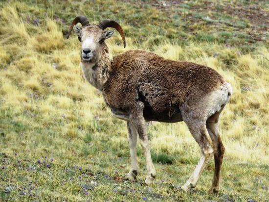Аргали посчитают: на Алтае стартовал учет численности горного барана