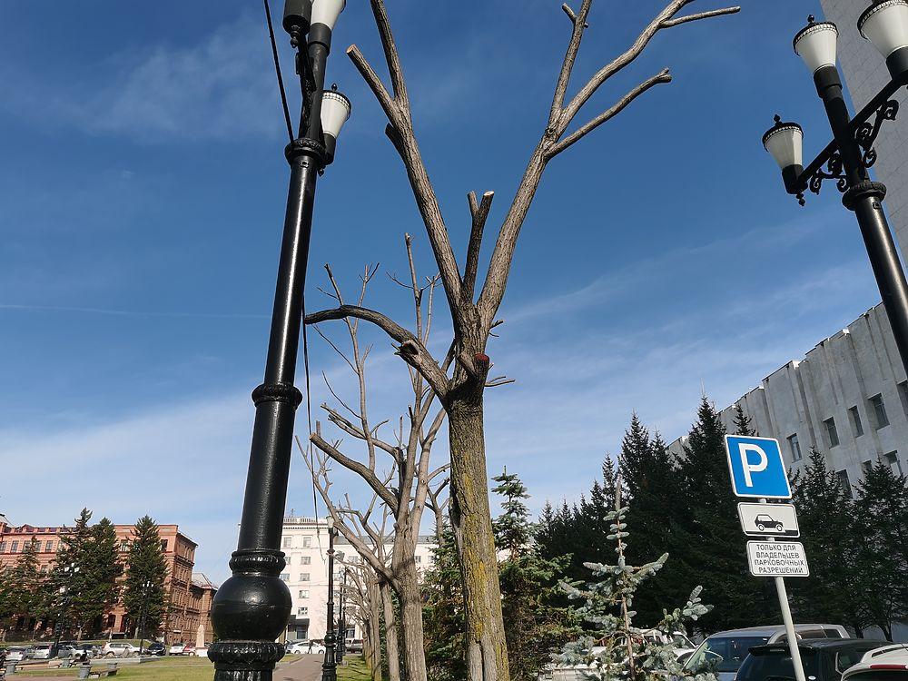 В Хабаровске даже деревья лысеют