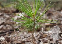 Почти 400 га леса с начала года высадили предприятия ТЭК на Ямале
