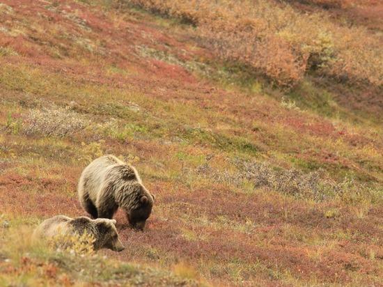 Семья медведей побегала по территории алтайского завода