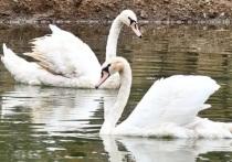 Поселить в одном из красивейших мест Южного Подмосковья — парке имени Олега Степанова в Серпухове — пару белых лебедей было хорошей идеей