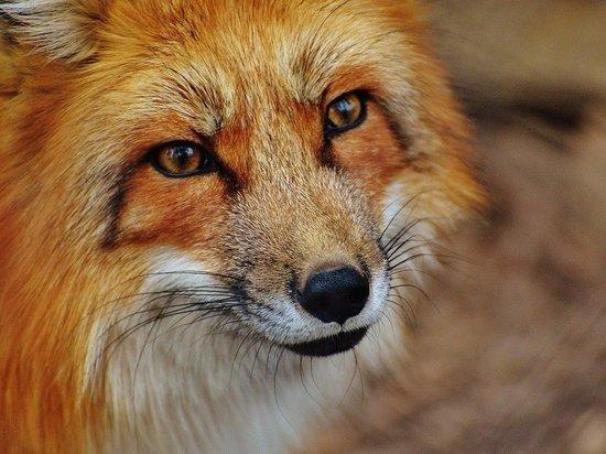 Верховный суд запретил гражданам держать дома лисиц
