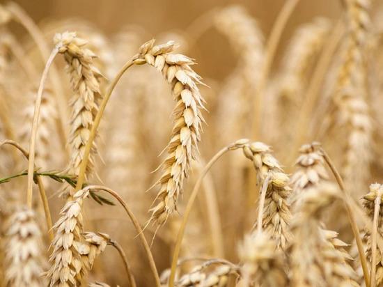 Власти прокомментировали гектары неубранной пшеницы в Кузбассе