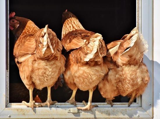 В Курске состоится выставка домашних птиц и животных