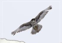 Браконьер ловил ценных хищных птиц на приманку из живых голубей в ЯНАО