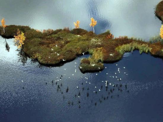 На Байдорацкой губе впервые на территории ЯНАО выявили колонию белощекой казарки в несколько тысяч особей