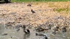 Ярославские дворы заполонили дикие утки