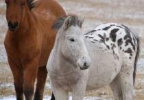 В Сунтарском улусе Якутии родился необыкновенный жеребенок