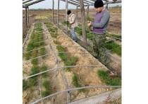 Три гектара территории ЛНР засажены саженцами сосен