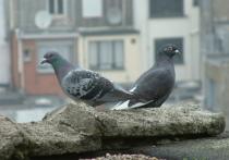 Жителям барнаульских новостроек пригрозили штрафом за кормление голубей