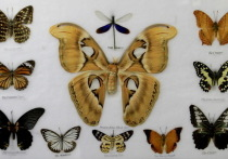 В алматинском творческом пространстве Art Galaxy Alma-Ata открылась ежегодная выставка «Хрупкая красота», презентовавшая самую богатую коллекцию насекомых в Казахстане