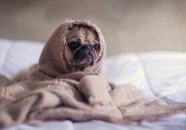 Специалисты из российской кинологической федерации рассказали, как понять, что собака простудилась и что нужно сделать, чтобы помочь питомцу