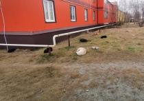 Соцсети: стая бездомных собак напала на ребенка в Уренгое
