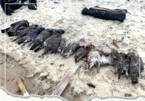 Нелегальная охота: 11 глухарей убили браконьеры из Надыма