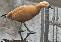 Необычную красную утку заметили в Пскове